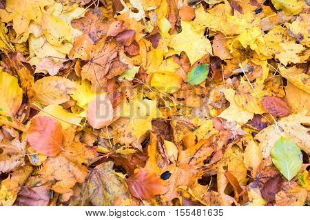 Background from colorful fallen beech and maple leaves in forest