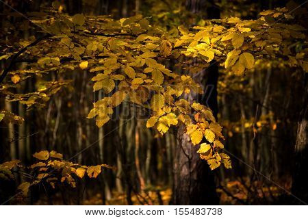 Detail Of Beech Leaves In Autumnal Forest