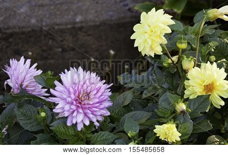Two mauve/purple and two yellow flowers of the dahlia family on a bright sunny day in October.