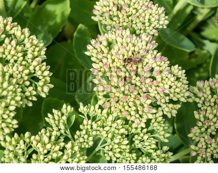 Bumblebee polinates beautiful Sedum Autumn Joy flower
