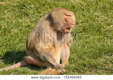 Male Baboon vocalizing