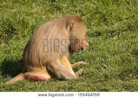 Male Baboon eating