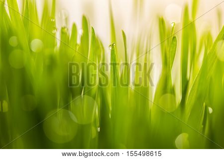 Dew drop on fresh wheatgrass with nature bokeh For nature background Concept refresh in morning