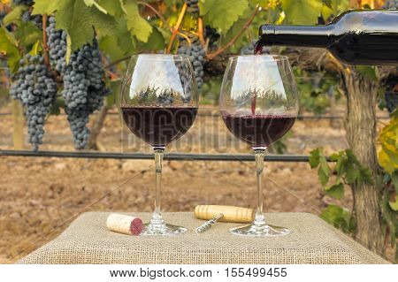 Photo of red wine poured into glass from bottle on blurred background of a vineyard right before harvest, with hanging branches of grapes. With cork and vintage corkscrew
