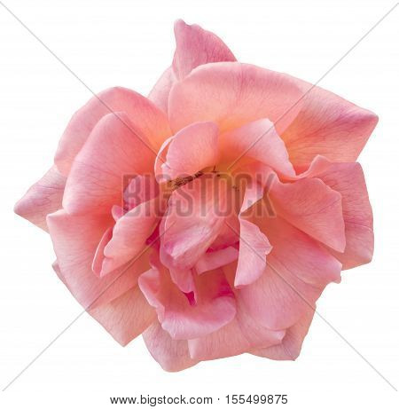 A photo of a beautiful pink rose, isolated on white background