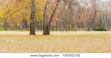 Three old birch among a large glade with withered grass in the park on a background of other trees and walkway with benches in autumn day