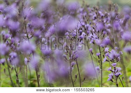 Meadow with blooming blue cornflowers blur. Floral background.