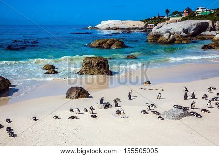 Boulders Penguin Colony in the Table Mountain National Park. African black-white penguins. Animals in South Africa