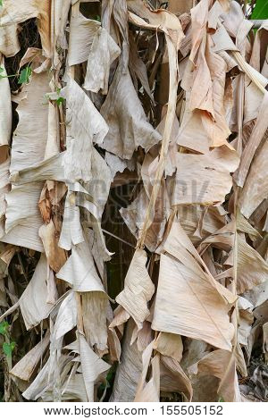 dry banana leaves in nature for background. .