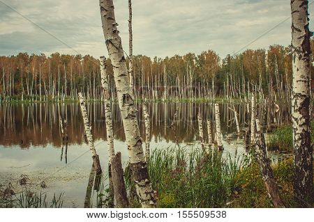 Old birch tree in lake at fall forest