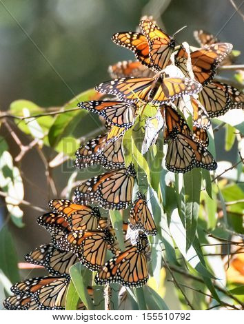 Monarch butterfly (Danaus plexippus) cluster in the eucalyptus trees at the Natural Bridges State Park in Santa Cruz, California, USA.