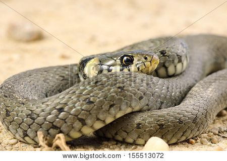 detail of grass snake ( Natrix ) one of the most common european reptile