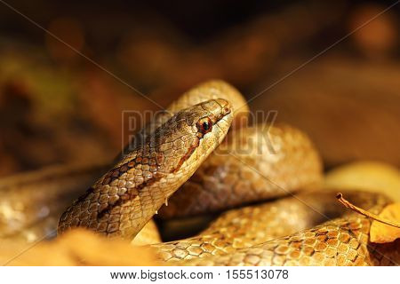 detail of smooth snake in autumn forest ground macro image with closeup of head ( Coronella austriaca )