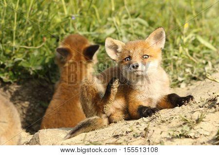 european fox cubs near the den ( Vulpes vulpes )