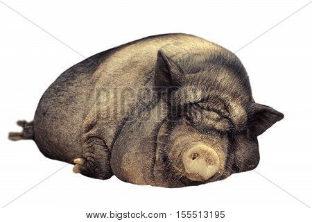 huge lazy pig isolated over white background