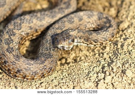 male meadow adder hatched from winter hibernation ( Vipera ursinii rakosiensis )