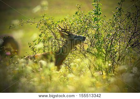 portrait of wild roebuck in summer field ( Capreolus )
