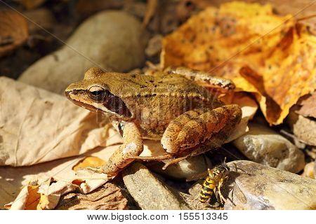 Rana dalmatina on autumn forest litter ( agile frog )