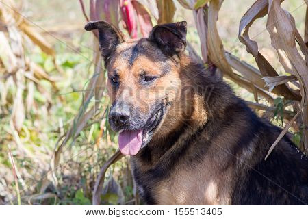dog sitting and resting in a corn field in autumn
