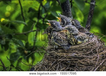 baby birds of a thrush in a nest demand sterns