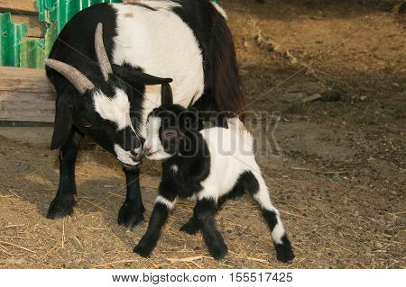Portrait of baby goat kissing her mother