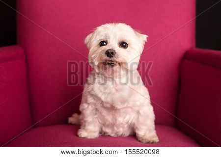 Cute West Highland White Terrier Sitting On A Pink Armchairs