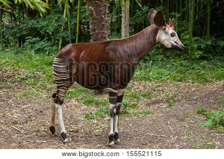 Okapi (Okapia johnstoni). Wildlife animal.