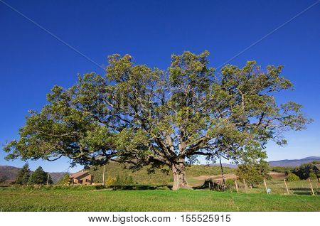 The monumental oak of Nottoria in Umbria
