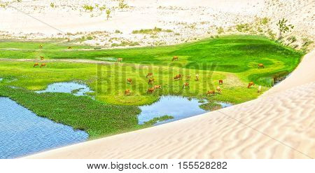 Amazing White Sand Dune in the desert Mui Ne, Vietnam. Under the sand valley grazing cows countryside create a beautiful picture