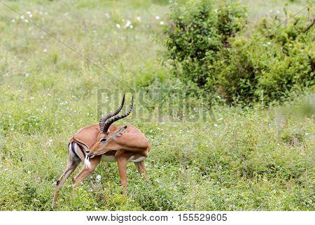 A male black-faced impala antelopes (Aepyceros melampus) grazing in the savannah at Tarangire National Park, Tanzania