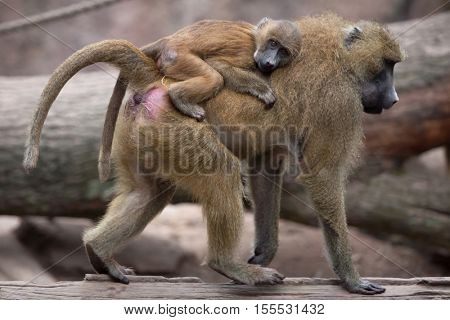 Guinea baboon (Papio papio). Female baboon bearing its newborn baby. Wildlife animal.