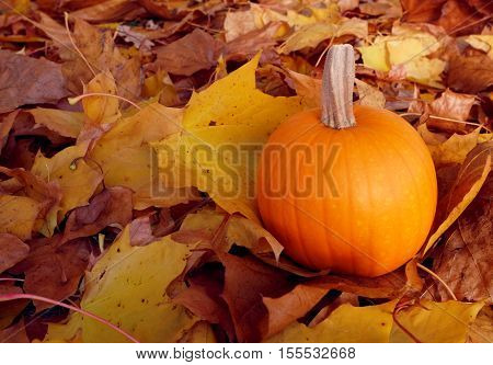 Pumpkin Among Autumnal Sycamore Leaves