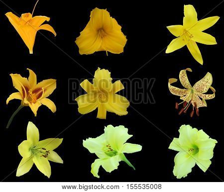 illustration with lily collection isolated on black background
