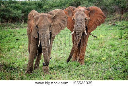 African elephants in National Park Uganda, Africa