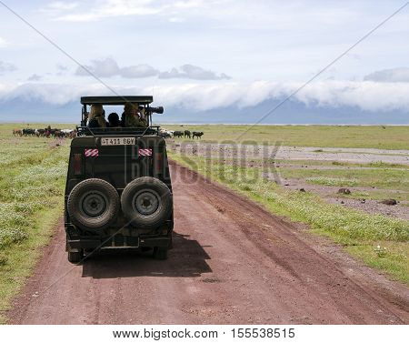 AFRICA, TANZANIA, MAY, 10, 2016 -  Visitors on jeep pictures of wild animals in Ngorongoro Crater Conservation Area on a background of the Maasai grazing herd of cows, Tanzania. East Africa