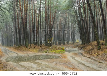 Forked sandy roads in rainy pine forest in Ukraine