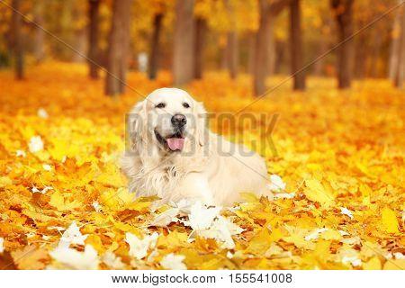 Funny labrador retriever in beautiful autumn park on sunny day
