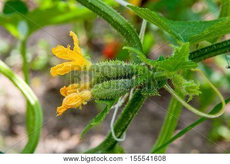 Close Up View Of Fresh Young Cucumber In Garden Organics Farm..