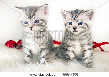 kittens striped gray sitting. kittens pets beautiful kittens