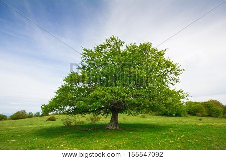 Photo of big beech tree isolated on the top of the hill