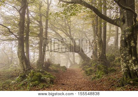 Path on the Monte Cucco ghost forest in Umbria. Beech trees in the autumn season