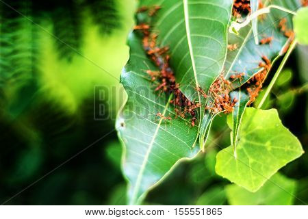 Ant On Green Leaf To Make Home