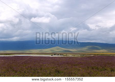 Flowering valley Ngorongoro Crater Conservation Area, Tanzania. East Africa