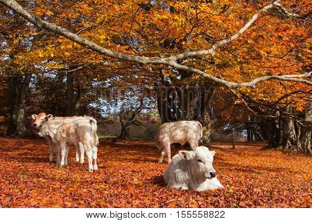 Autumn landscape with little white cows relaxing
