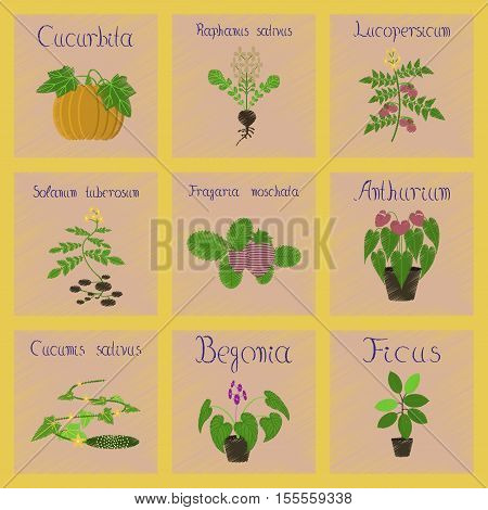 assembly flat shading style Illustrations of Cucurbita raphanus tomato Solanum Cyperus Ficus Cucumis Anthurium Fragaria Begonia