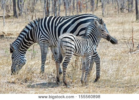 Mother and baby foal Zebra (Equus quagga) standing in the bush in Hwange national park