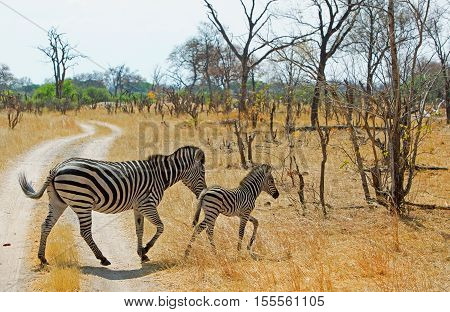 Mother and baby zebra run across the dusty track in Hwange National Park