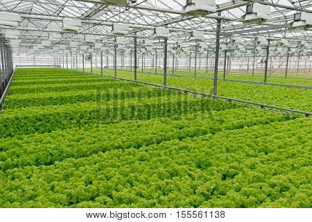 Fresh lettuce growing in greenhouse. Hydroponic vegetables