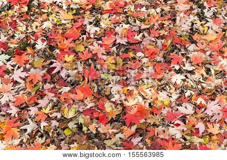 A mixture of different colorful Fall leaves laying on the ground.