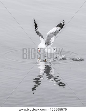 Seagull flying on water surface with speed to catch food. Water surface in soft gray tone of winter season.